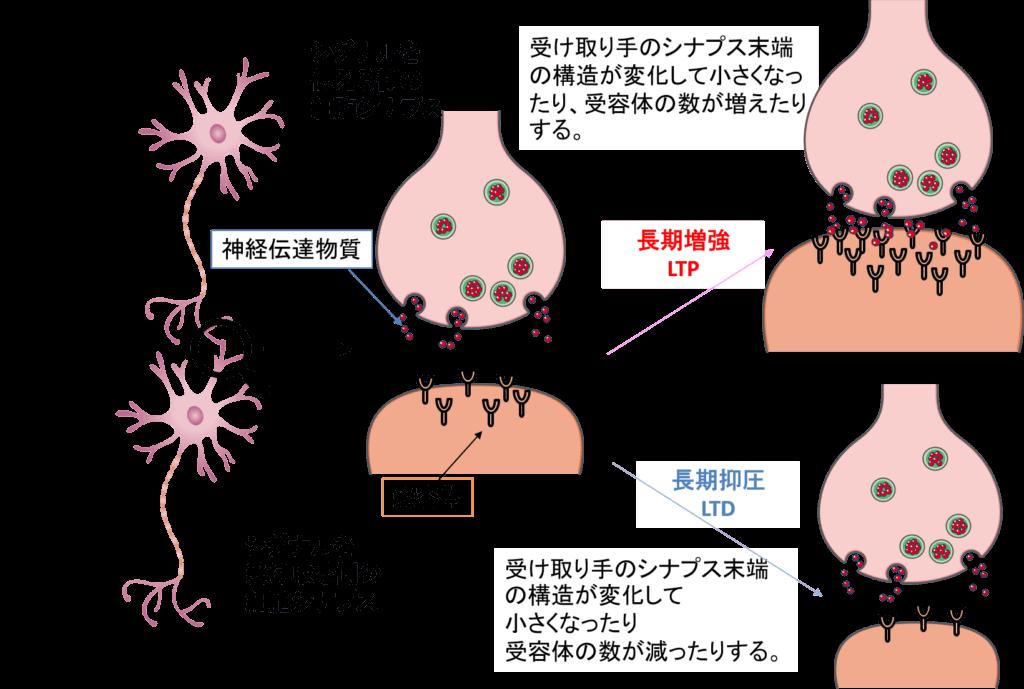シナプス可塑性