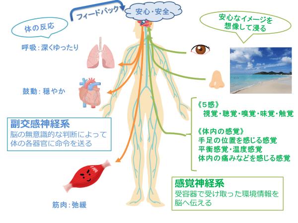 副交感神経系